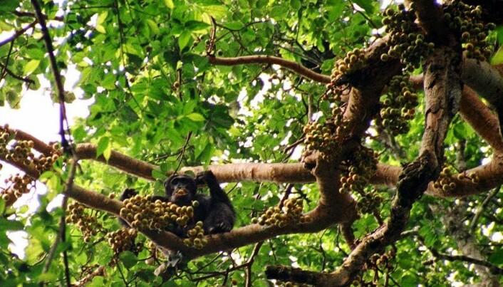 Ape hunt ruins rain forest fruit trees