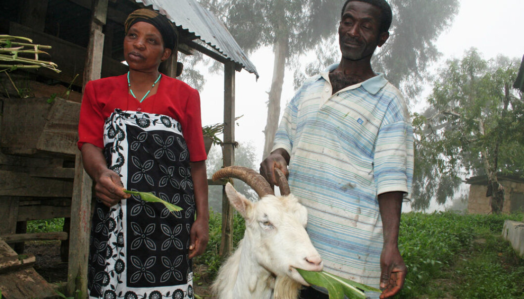 Dairy goats with Norwegian genes are now established in the economy of many peasant farmers in Tanzania. Simforiani L. Mahenge and his wife Jovita Joseph with their favourite goat, a ten-year-old animal named Chama. (Photo: Asle Rønning, forskning.no)