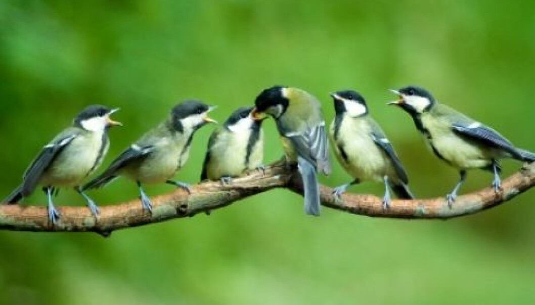 Like sparrows and other songbirds of its order, the Great Tit (Parus major) is affected by climate change as global warming results in earlier spring seasons. But a new study indicates that stocks of the bird have the ability to adapt. (Photo: iStockphoto)
