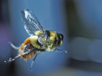 A female warble fly in flight. The insect, also known as a gadfly, resembles a harmless bumblebee. (Photo: Arne Claus Nilssen)