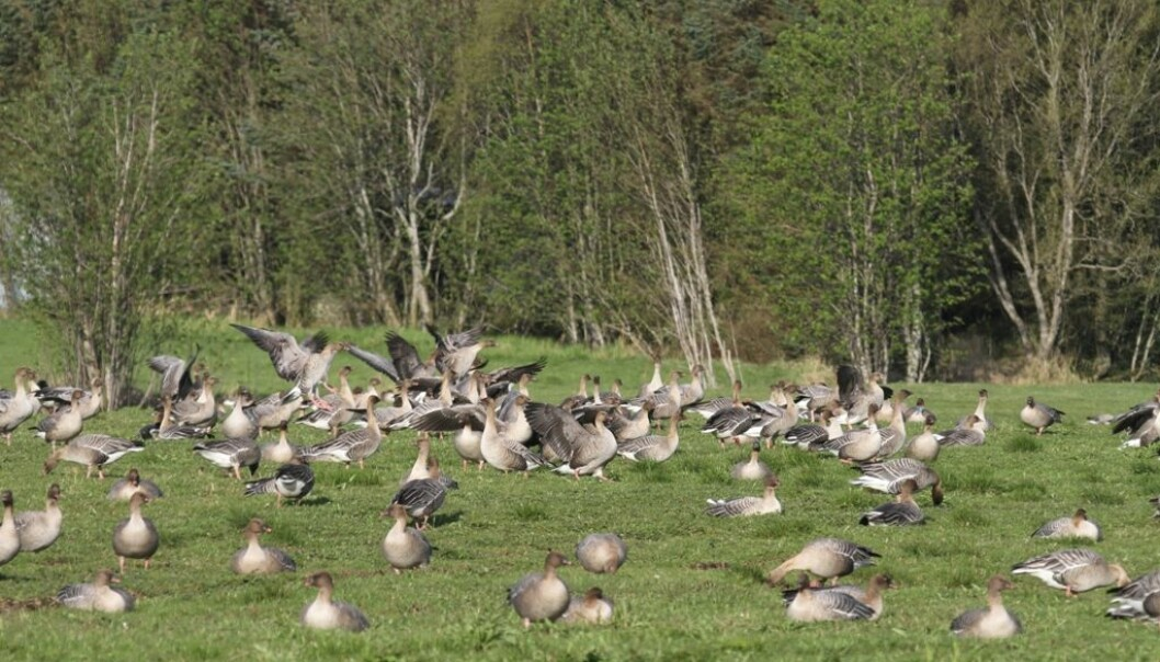 Pink-footed geese grazing on dairy grassland yields. (Photo: Ingunn Tombre)