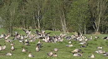 Grassland crops hit by greedy geese
