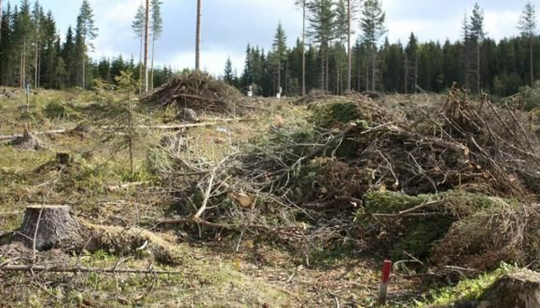 Logging waste from the forrest. (Photo: Kjersti Holt Hanssen, Norwegian Forest and Landscape Institute)