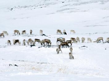 Reindeer grazing in Finnmark. (Photo: iStockphoto)