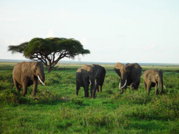 Elephants on the savannah in Kenya (Photo: iStockphoto)