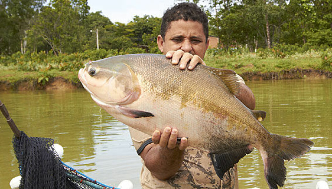 The fish tambaqui is one of the most appropriate species for farming in the Amazon. (Photo: Audun Iversen / Nofima)
