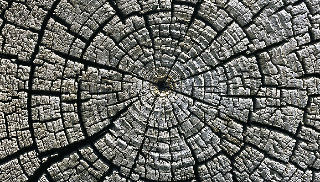 Tree-ring increments reveal to scientists the conditions trees grew in all the way back to when they were saplings.  (Photo: Michael Gäbler/ Wikimedia Commons.)