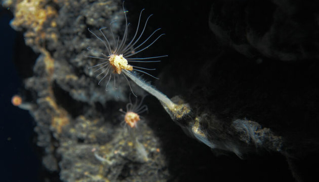 UiB researchers have found 20 new animal species in the volcano areas that they discovered this summer. These animals live off the heat caused by the hydrothermal vents in the area. (Foto: Senter for geobiologi, UiB)