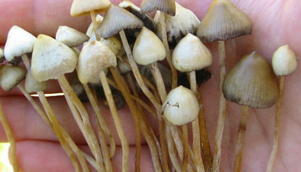 "Psilocybian Mushrooms, also known as ""Magic Mushrooms"". (Photo: Wikimedia Commons/Patrick Ullrich)"