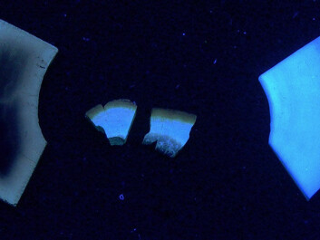 Two modern cow bones (left) and a prehistoric human bone under ultraviolet light. The leftmost sample has been burnt, and shows what deteriorated bone looks like. (Photo: Hege Ingjerd Hollund)