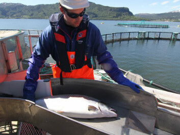 Tests will show whether sterile salmon are ready for commercial use. (Photo: AquaGen)