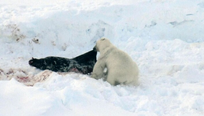 Climate change fills polar bears with toxins