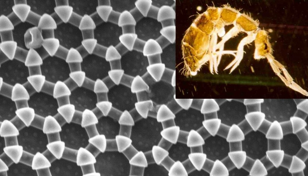 Springtails inspire nanomaterials research. (Photo: Håkon Gundersen, NTNU/ U. Burkhardt, Wikimedia Commons)