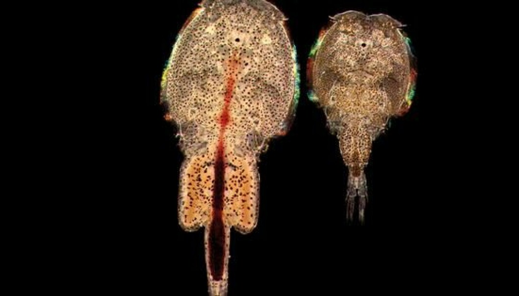 The salmon louse. (Photo: Institute of marine research)