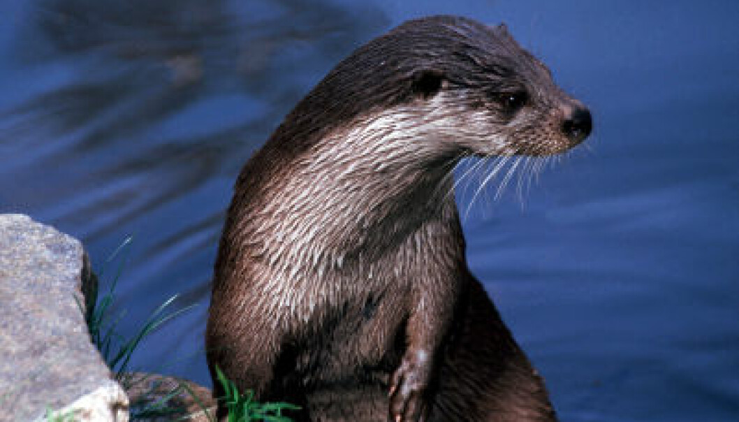 Levels of perfluorooctane sulfonate (PFOS) in Scandinavian otters are rising despite a ban on the compound. (Photo: iStockphoto.com)