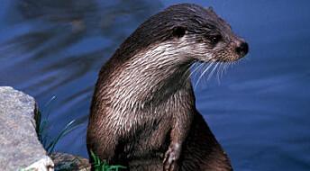 Scandinavian otters full of contaminants