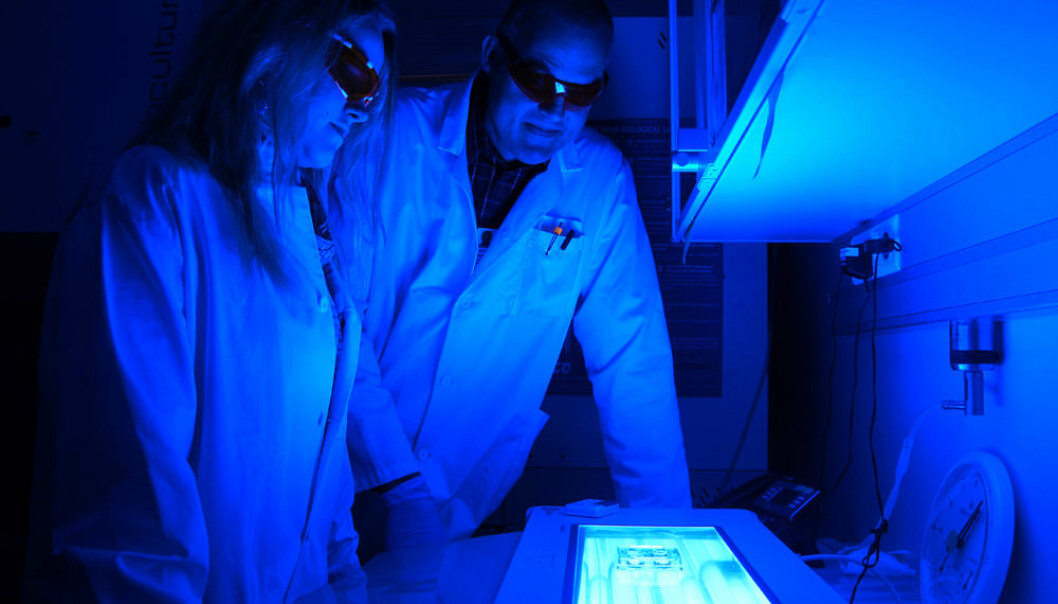 Monica Bostad and Pål Selbo study cancer cells in Petri dishes at the Centre for Research-based Innovation at the Norwegian Radium Hospital, part of Oslo University Hospital. (Photo: Arnfinn Christensen, forskning.no.)