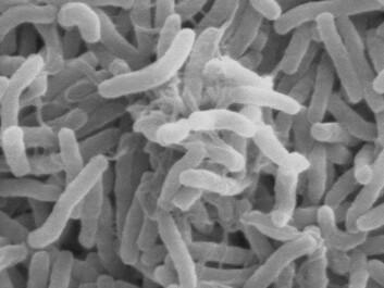 Cholera bacteria viewed through an electron microscope. (Photo: Wikimedia Commons)