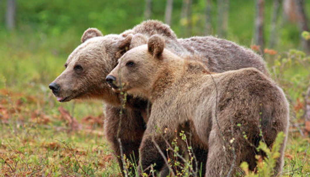 A Scandinavian study indicates that females with cubs often stay away from the choicest feeding grounds from May to mid-July to avoid running into males. (Photo: Ilpo Kojala)