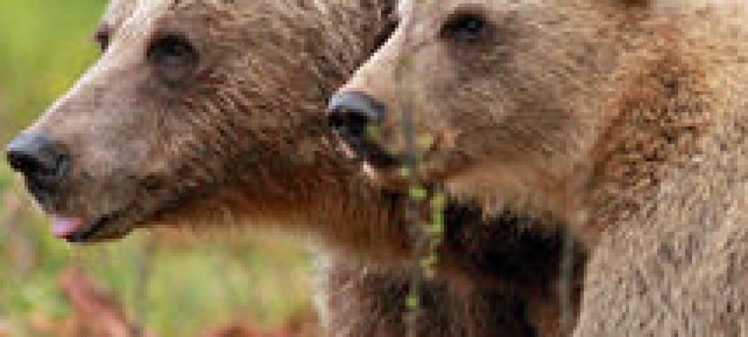 Solving the mystery of bear cub killings
