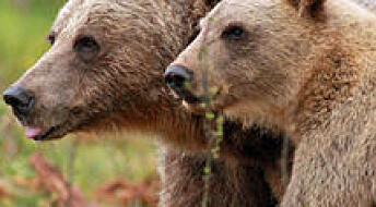 Solving the mystery of bear cub killings