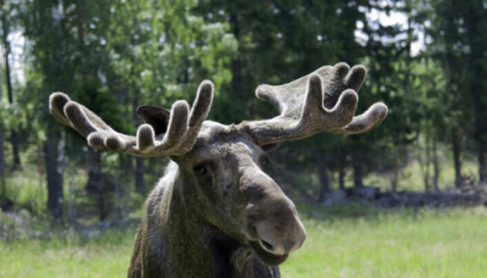 Moose are the new cows