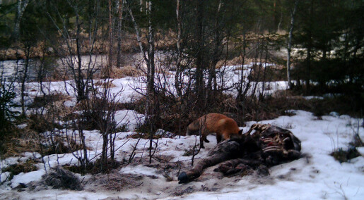 Wolves help support forest scavengers