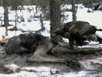 A golden eagle feasts at the scene of a wolf kill. (Photo: Camilla Wikenros)