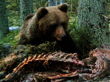 A bear has found a moose carcass left by a wolf. (Photo: Camilla Wikenros)