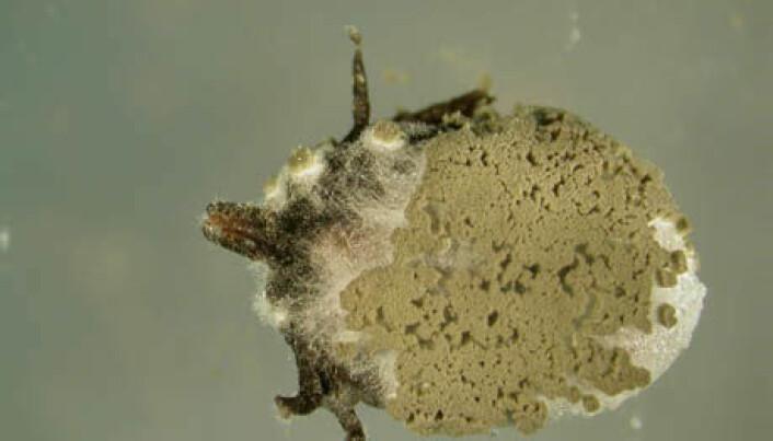 Fungus kills ticks