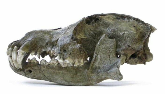 Wolves became domesticated dogs much earlier than thought