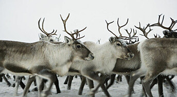 How archaeology helps wild reindeer