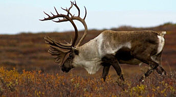 Reindeer genes show clear influence from last Ice Age