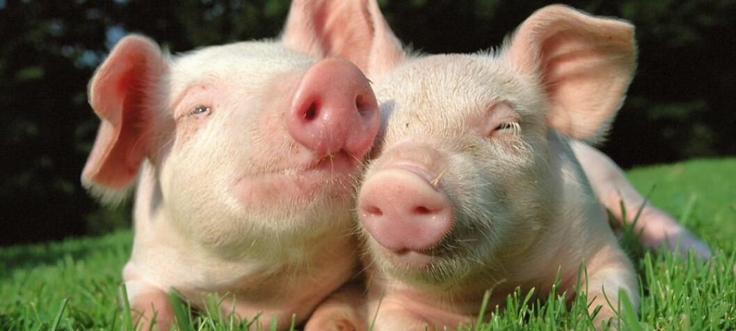 Jolly porkers not a Norwegian priority