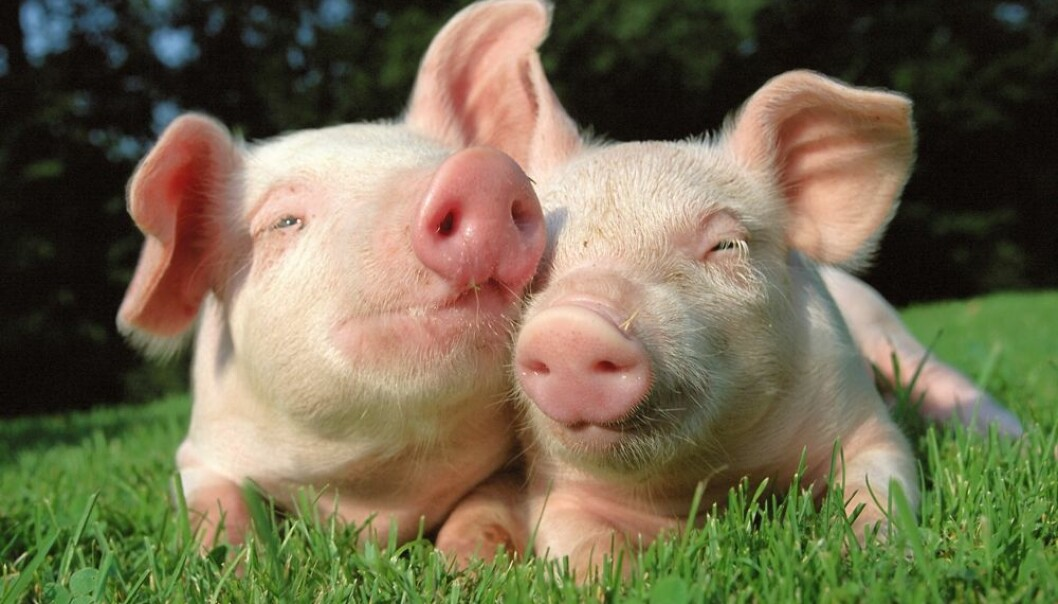 Pigs need to be part of a herd – or drove – to be happy. (Photo: Colorbox)