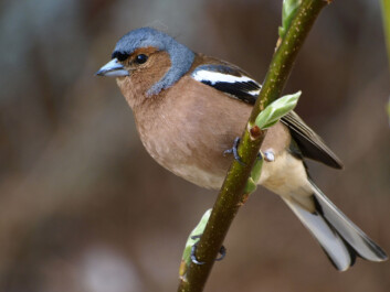 The chaffinch [Fringilla coelebs] is one of the birds that can be predictably located with the aid of airborne scanner data. (Photo: Colourbox)