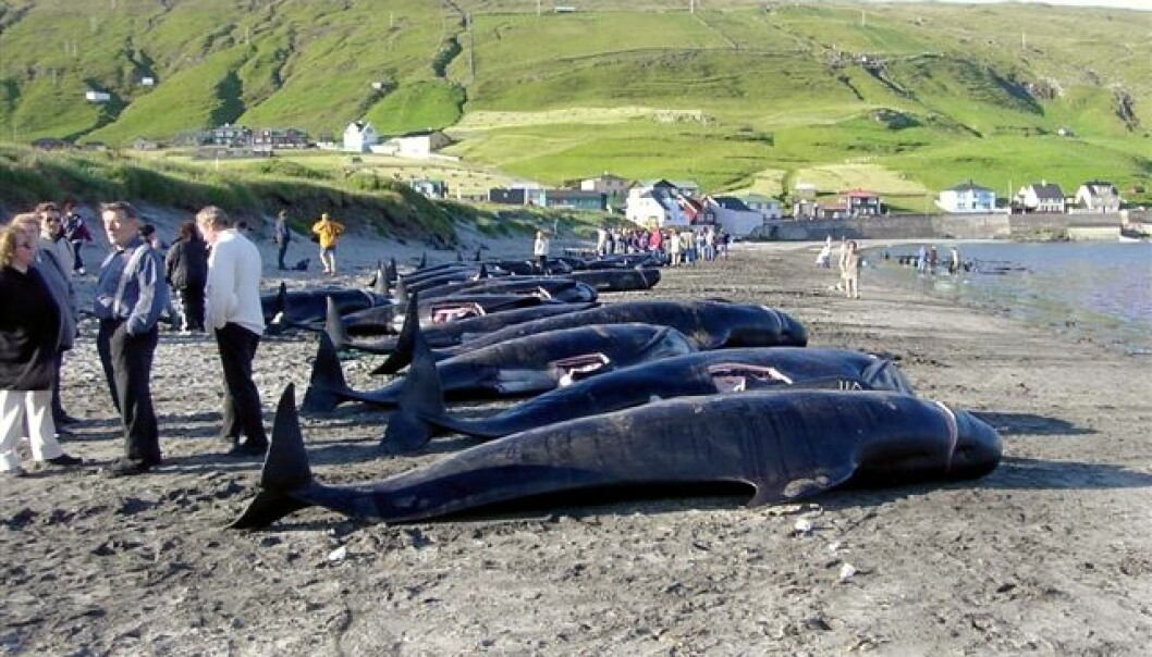 Grindadráp, the hunting of pilot whales, is an age-old tradition in the Faroe Islands. (Photo: Erik Christensen)