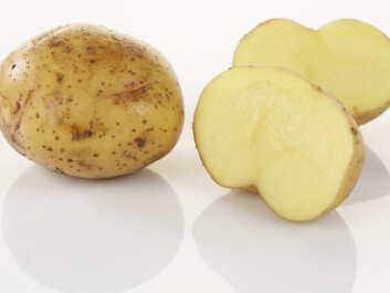 Gulløye is a traditional, highly prized potato variety in North Norway. It is well adapted to the cool climate with its light summer nights. Two out of three of the participants in the study think older varieties that are no longer in production could also be candidates for Arctic agriculture. (Photo: Frukt.no)