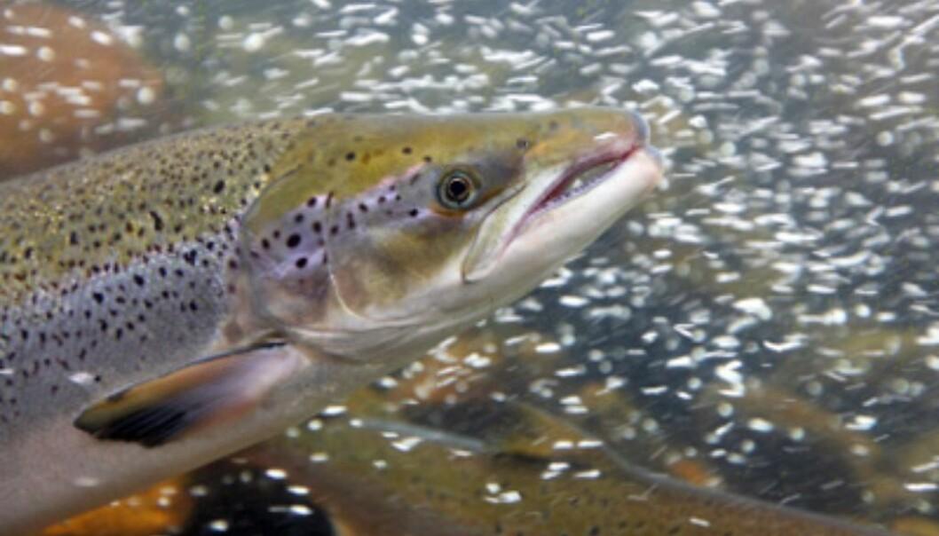 Farmed salmon that escape from their pens threaten stocks of wild Atlantic salmon in Norwegian rivers. (Photo: iStockphoto)