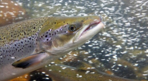 Farmed salmon are as fertile as wild salmon