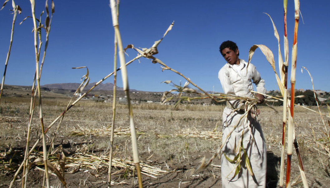 A farmer harvests cane to feed livestock near Sanaa in Yemen. The country is struggling with an increasingly arid climate and scanty crops. (Photo: Khaled Abdullah, Reuters)