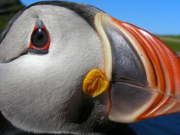 An adult Atlantic puffin. The oldest individual known to science reached an age of 41. (Photo: Tycho Anker-Nilssen, NINA)