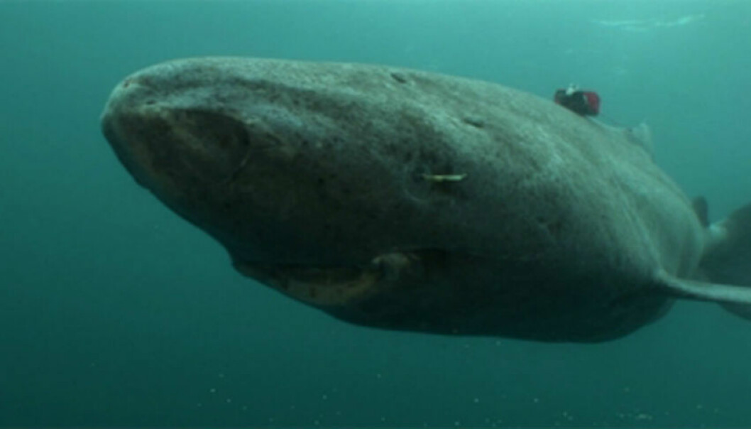 The researchers believe that knowledge on Greenland sharks may help us understand how pollutants, especially hormone inhibiting substances, also affect humans. (Foto: Armin Mück/Crystalwaterfilm)