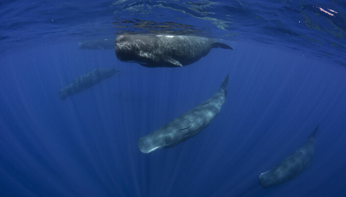 Sperm whale language under scrutiny