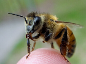 Bees have a protein called vitellogenin that regulates their sociality, health and lifespan. (Photo: Adam Siegel)