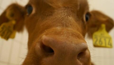 Calves aren't being given enough milk