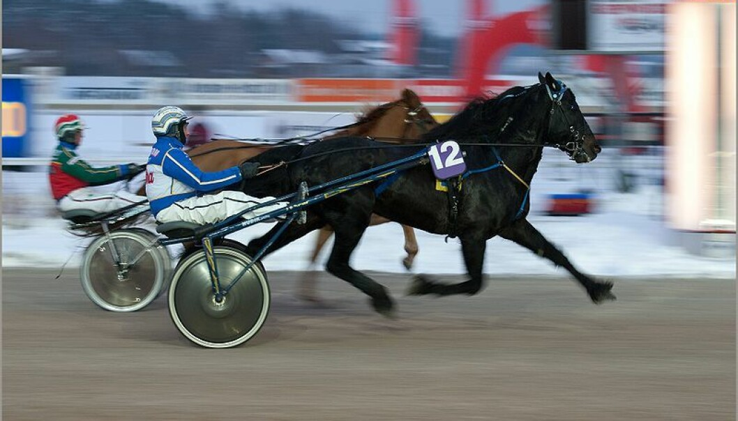 The disorder, which occurs almost exclusively in cold-blooded trotters, is is recognized by performance failure and abnormal sounds emanating from the throat while the horse is racing. (Photo: Don Wright/Flickr)