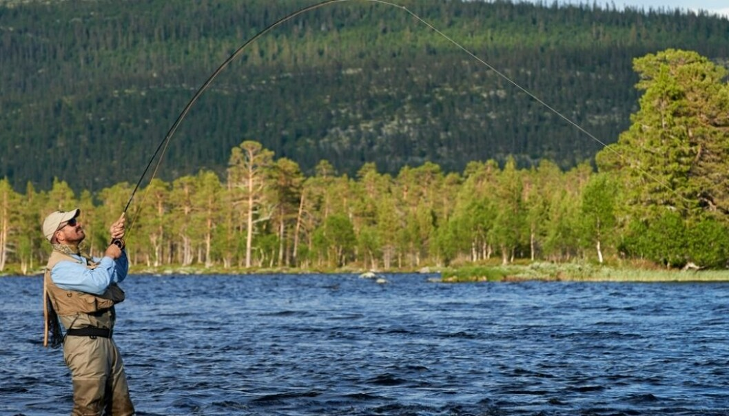 Researchers see that a new norm has developed rather quickly. Sports fishermen in Norway like to unhook the fish they catch and let them go. In some watercourses up to 80 percent of caught salmon are released. (Photo: Bård Løken, Samfoto)