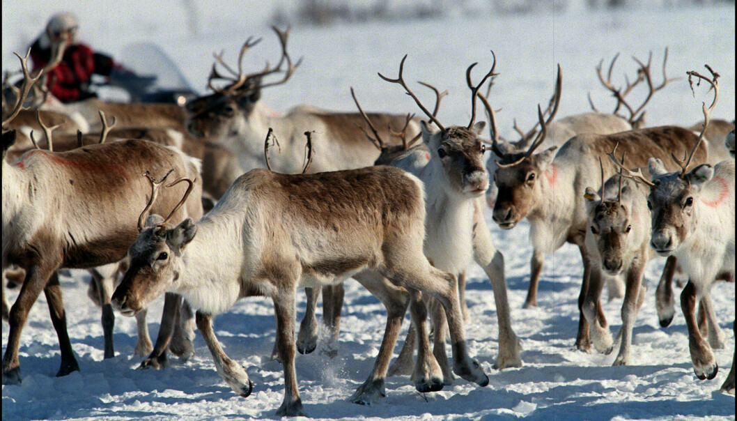 Recent studies indicate that Norway's domesticated reindeers have their origins in local wild reindeer populations. But the area where this original wild stock came from has yet to be found. (Photo: Lise Åserud/NTB scanpix)