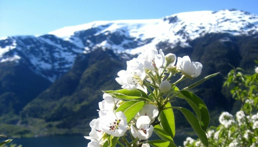 Pear blossom in Hardanger, Norway. (Photo: Mekjell Meland)